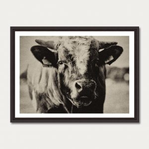 PhotoArtGallery Cow Robert Peek 1